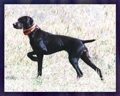 """Solid Liver Female German Shorthaired Pointer ~ """"Jo D"""""""