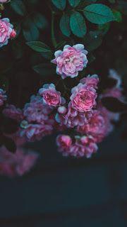 خلفيات ايفون ورد جميلة جدا Iphone Flower Background In 2020 Flower Backgrounds Iphone Wallpaper Flowers