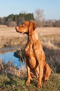 Training your dog to stand is an easy and often helpful dog obedience command. Learn here how to do it with detailed instructions! Vizsla Dog Breed, Vizsla Puppies, Weimaraner, Beautiful Dog Breeds, Most Beautiful Dogs, Redbone Coonhound, Hungarian Vizsla, Cute Dogs Breeds, Hunting Dogs