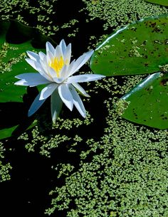 Water Lily - Natural
