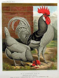 the illustrated book of poultry lewis wright - Google Search