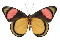 Batesia hypochlora - Underside