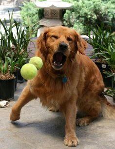 Funny: Dogs play with tennis balls #dogs #pet #love