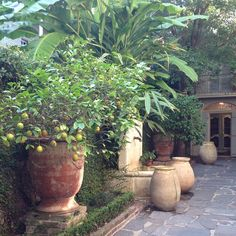 Anduze with citrus. New Orleans courtyard