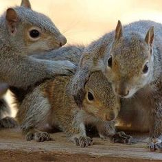 Squirrel group