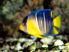 Carribean blue angel fish