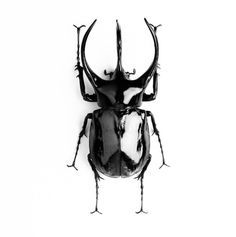 dream 3 horned rhinoceros beetle was inspiration for an unusual sports car whose horns retracted over the headlights when the car started These beetles can lift objects Rhino Beetle, Beetle Insect, Beetle Tattoo, Scarab Tattoo, Black Beetle, Rare Birds, Beautiful Bugs, Insect Art, Bugs And Insects
