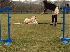 Cute fail!  Unless getting the treat is a measure of success, then it was a victory! An attempt was made - GIF on Imgur #dogs #dogsports