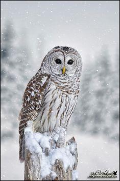 Barred Owl ... by Jody Melanson