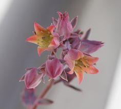sukkulent in bloom