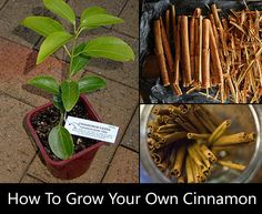 How to Grow Cinnamon At Home. I have been missing out on growing one of my favorite spices in the world, so have you. These are actually easy to grow.