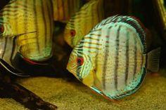 Symphysodon aequifasciata aequifasciata: royal green discus