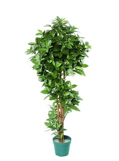 A Loja do Gato Preto | Planta Bay Tree #alojadogatopreto