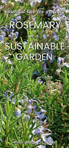 Essential tips for growing rosemary in a sustainable garden #sustainable #gardening #rosemary