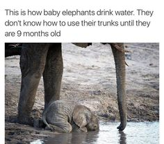 Baby Elephants Photos And Memes That Will Make You Smile Instantly - World's largest collection of cat memes and other animals Cute Little Animals, Cute Funny Animals, Funny Cute, Funny Pics, Funny Pictures, Hilarious, Elephant Facts, Elephant Love, Elephant Quotes