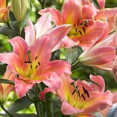 Lilia drzewiasta On Stage gigantyczne lilie intensywnie pachnące Beautiful Flowers, Stage, Plants, Gardening, Horsehair, Board, Lawn And Garden, Plant, Planets
