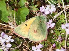 Lapinkeltaperhonen, Colias hecla - Perhoset - LuontoPortti