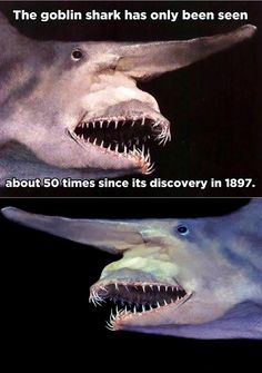 The goblin shark has only been seen about 50 times since its discovery in 1897 Animals And Pets, Baby Animals, Funny Animals, Cute Animals, Wow Facts, Wtf Fun Facts, Funny Relatable Memes, Funny Jokes, Hilarious