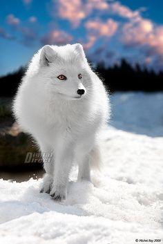 Arctic fox - Renard Arctique by www.digitaldirect.ca, via Flickr
