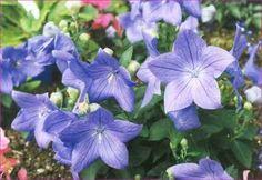 Mavi balon cicegi ---veya--- gelin tacı çiçeği, maviş, platos çiçeği