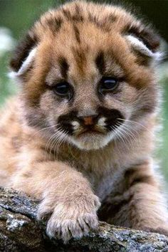 From baby seals to kittens, the Internet is chock-full of cute baby animals. Cute Baby Animals Pictures Are The Cutest. I Love Cats, Big Cats, Cats And Kittens, Cute Baby Animals, Animals And Pets, Funny Animals, Beautiful Cats, Animals Beautiful, Tier Fotos