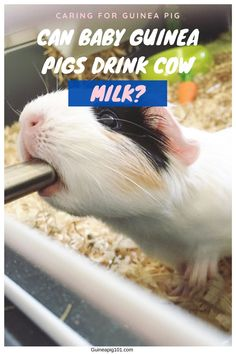 Baby guinea pigs necessarily need the mother's milk like every other animal. If by any chance, the mother's milk could not be provided, the babies must be served with a healthy and nourishing alternative. But what would that be? Can baby guinea pigs drink cow milk? #guineapig #smallpets #pets