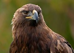 Young+Golden+Eagle | The golden eagle eats a variety of large and small prey.