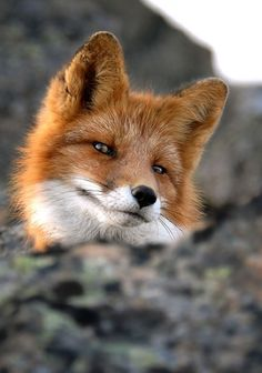 fox - beautiful & majestic. that expression makes me feel like I wouldn't be too surprised if it started talking.