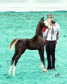 Coconut Frosting...American Saddlebred. what a beautiful horse. Such pretty coloring and stance.