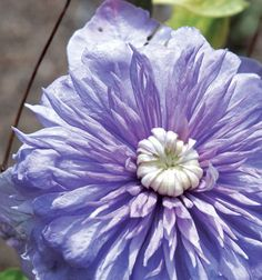 Blue Light Flower Colour: blue Flower Form: double Flower Size: 4-6in-10-15cm Flowering Period: june-august Mature Height: 6-9ft-2-3m Pruning Requirements: groupb2-pruning-optional-light-or-hard Planting Aspect: sun-partial-shade USDA Zone: 4 Suitable for Container: container Foliage Type: deciduous