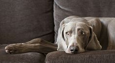 Weimaraner  Gee...I get this look all the time!
