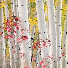 BIRCH TREES......LOVE these trees!! Love how white they are...
