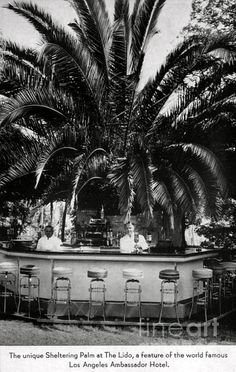 """LOS ANGELES / KOREATOWN:  THE AMBASSADOR HOTEL.  """"The Unique Sheltering Palm at The Lido, a feature of the world famous Los Angeles Ambassador Hotel."""" (Bizarre Los Angeles)."""