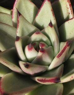 Echeveria agavoides   International Crassulaceae Network