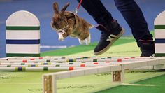A rabbit jumps over an obstacle while competing in the long jump discipline during the National Rabbit Hopping Championships in Chorebor, Czech Republic, Nov. 8, 2014