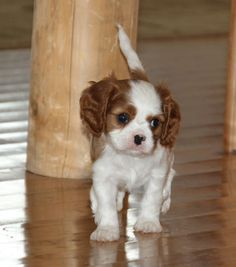 Discover Cavalier King Charles Spaniel Exercise Needs Cavalier King Charles Dog, King Charles Spaniel, Charles Darwin, Cute Little Animals, Baby Animals, Cute Puppies, Cute Dogs, Spaniel Puppies, Pets