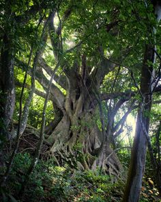 Majestic tree on the northern Atlantic coastline  #tree #nature #coast #forest #majestic #inspiration #wood #green #islandlife #caribbean #martinique #westindies #antilles #magic #lightisvibe