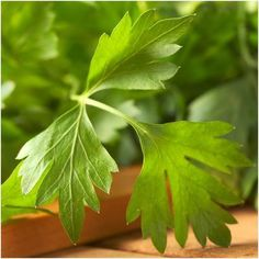 Italian Flat Leaf Parsley Seeds (Petroselinum crispum) – Seed Needs LLC Print Pictures, Colorful Pictures, Biennial Plants, Seed Packaging, Good Sources Of Protein, High Protein Recipes, Seed Packets, Herb Garden, Perennials