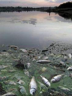 Efectos en lagos, ríos y mares: La lluvia ácida provoca que el pH de los lagos y ríos tengan un nivel de pH inferior a  6, lo que se conoce como acidificación. Esto dificulta el desarrollo de la vida acuática aumentando el número de peces muertos y afectando a la cadena alimentaria.