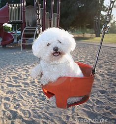 Bichon having a swinging good time