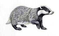 Google Image Result for http://www.savethebadger.com/badger_drawing.JPG