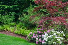 Vashon Island, WA<br /> Pacific Northwest forest garden featuring flowering rhododendrons, Japanese maples and sword ferns