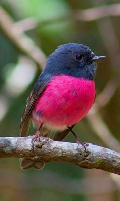 The Pink Robin (Petroica rodinogaster) is a small bird native to southeastern Australia.