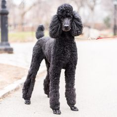 """Tango Standard Poodle (5 y/o) Central Park New York NY  """"He loves people and is very smart."""" #thedogist"""