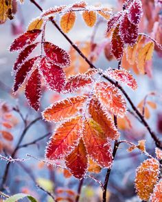 Fall colors of leaves on frosty day Wallpaper Winter, Wallpaper Free, Tumblr Wallpaper, Christmas Wallpaper, Wallpaper Backgrounds, Wallpapers, I Love Winter, Winter Wonder, Photo Images