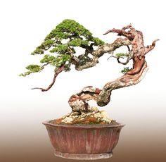 JPB:Bonsai Collection4