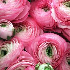The Pink Pagoda: Ranunculus + GIVEAWAY