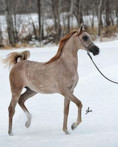 Gorgeous Rose Grey Arabian Stallion
