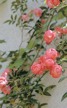 Com ramos longos e finos e delicadas flores vermelhas, rosas ou brancas, a Roseira trepadeira (Rosa x wichuraiana) é perfeita para regiões frias. Precisa de treliças ou arcos de sustentação e não suporta nenhum tipo de excesso, seja de poda, seja de rega. Suas flores são mais comuns entre primavera e o outono.