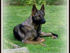 Sable German Shepherd <3